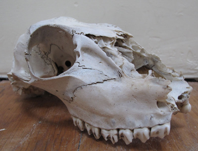 Deer Skull Without Antlers