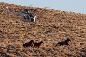 A BLM helicopter rounds up horses in the Stone Cabin Valley of Nevada in the winter of 2012. (Dave Philipps)