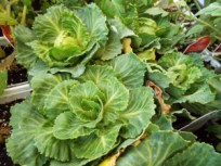 Garden_Vegetables_cabbage_2