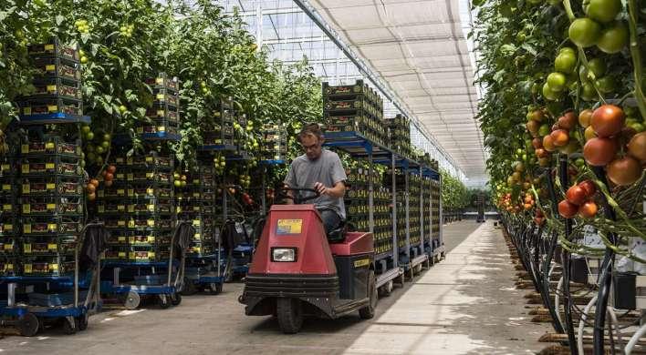 tomato greenhouse-worker_652470685