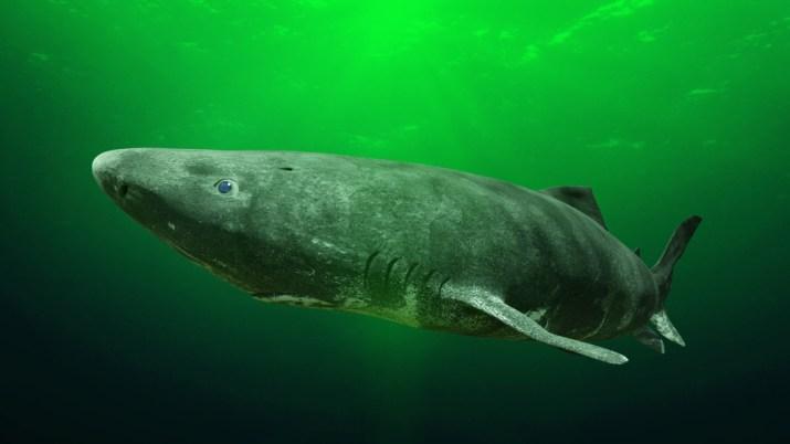 Στη Γροιλανδία κυκλοφορεί καρχαρίας ετών 300, ίσως και 500! | Protagon.gr