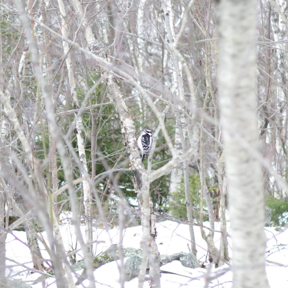 Woodpecker-20180417