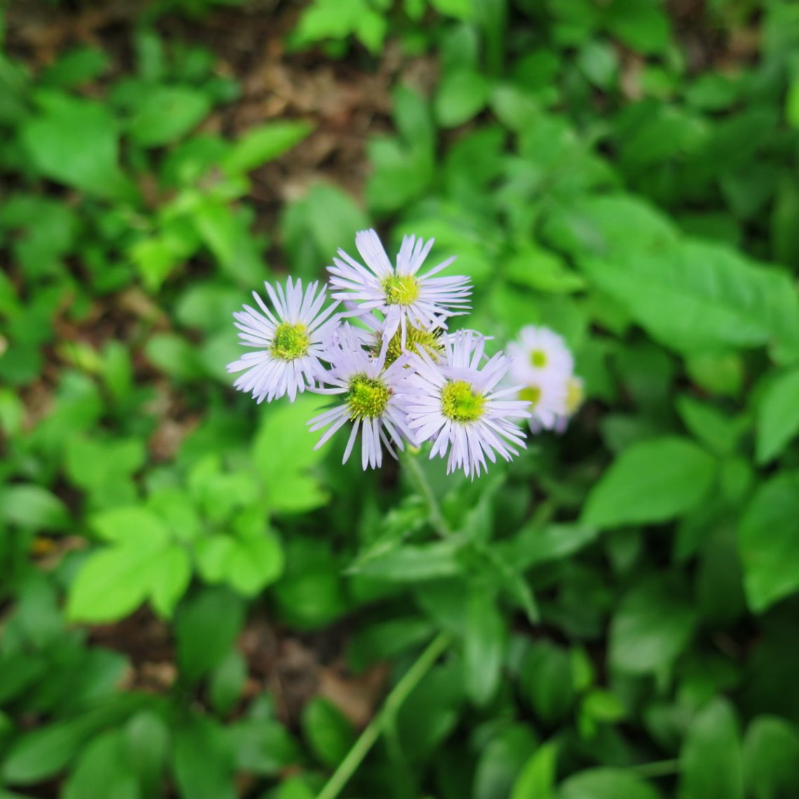 Erigeron annuus -- Annual fleabane, AKA daisy fleabane
