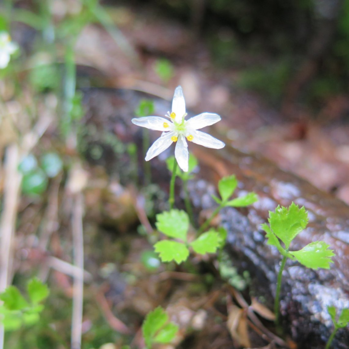 Goldthread flower blossom found in the White Mountain National Forest, New Hampshire.