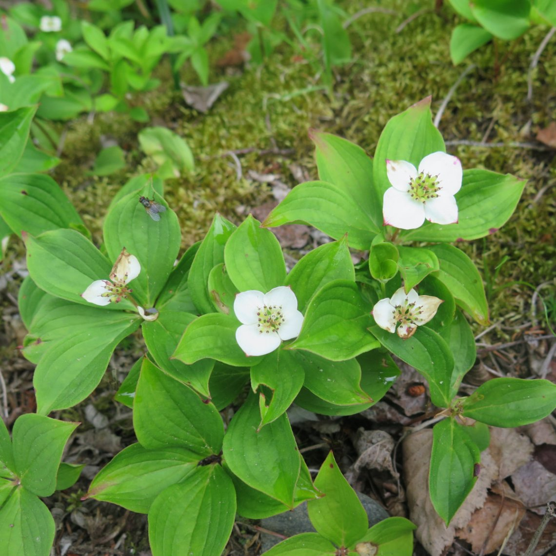 Twin-Mountain-Bunchberry-20190620
