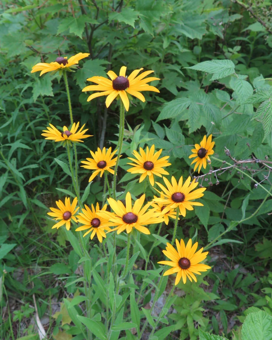 Bunch_of_Black_Eyed_Susans_Cabot_20190718