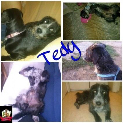 Tedy cruce de perro de agua en adopción en Sevilla