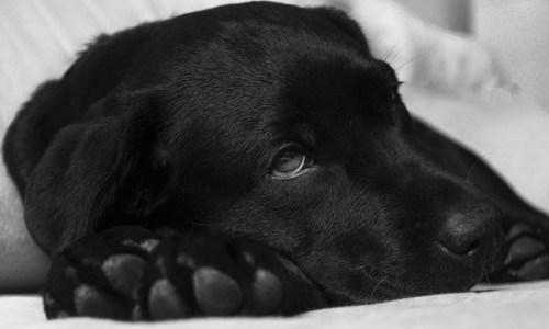 Parvo, La Enfermedad que Mata a Cachorros