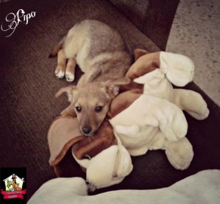 adopta a pipo cachorro mestizo en Sevilla