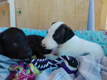 adopta cachorros de galgo en Sevilla