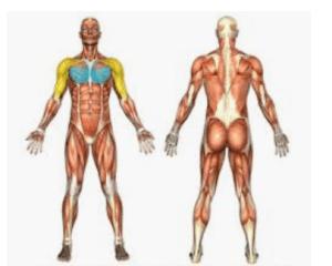Bildet viser muskler brukt i øvelser med cable-cross