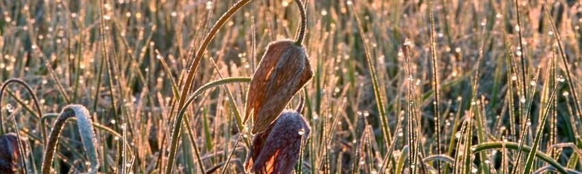 cropped-tulipan1.jpg