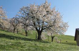 kirschen zug schwyz luzern anbau produkte kirschenanbau schweiz tradition chriesi kirschbäume blütezeit kirschenblüten anbau