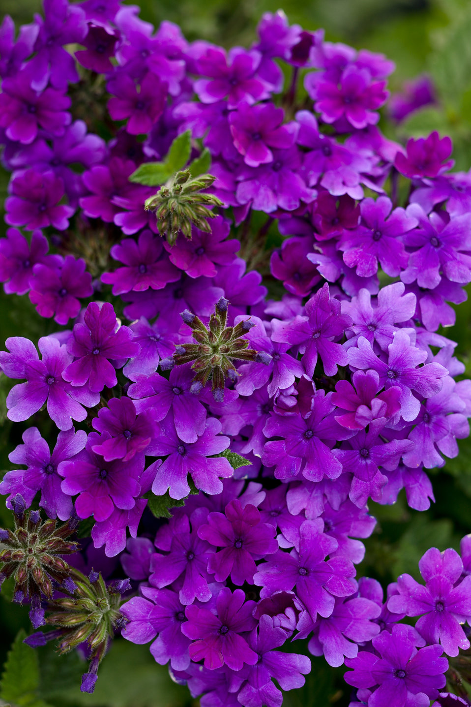 Blue Hardy Hibiscus Plants