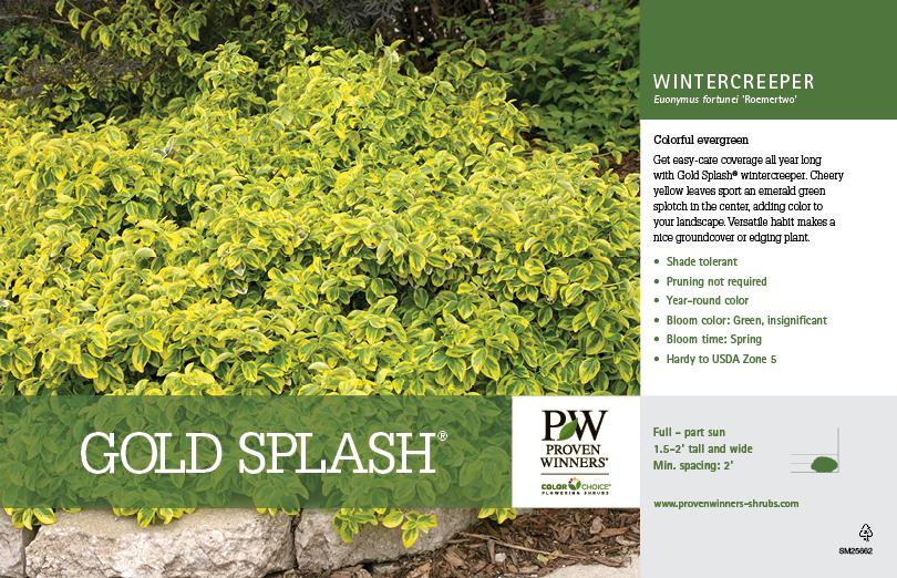Euonymus Gold Splash 174 Wintercreeper 11x7 Quot Variety