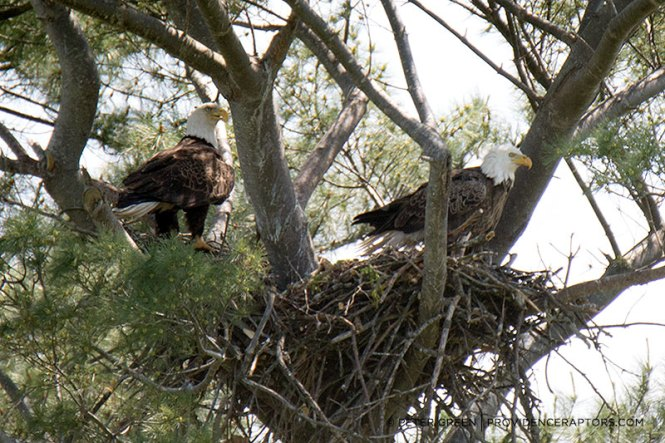 Codorus State Park Bald Eagles Nest