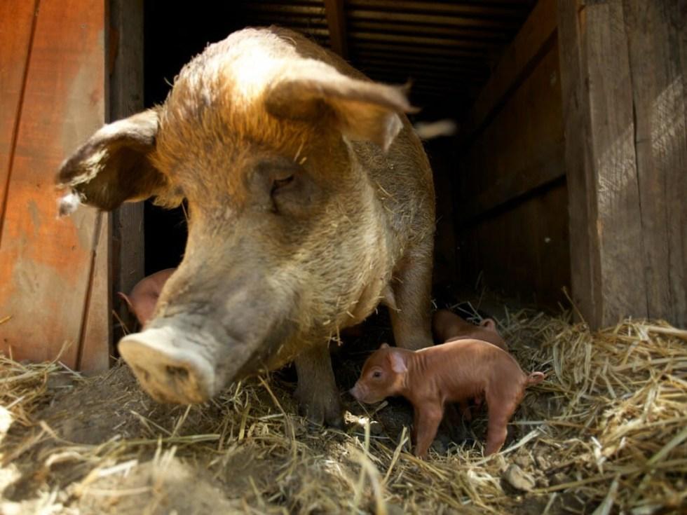 emma-and-piglets-1024x768