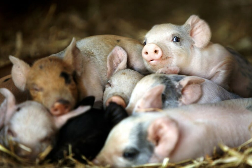 smiling-piglets-1024x683