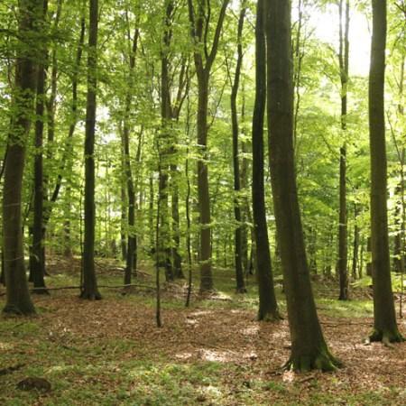 Bøgeskov med et stamtal 275 pr. hektar