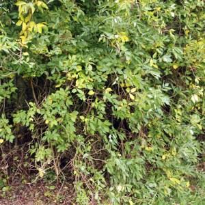 Hyld er et almindeligt syn om undervækst i skov og læhegn