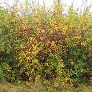 Sargentsæble er et alsidigt og robus plantevalg