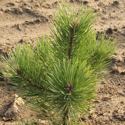 Nåletræs skovplanter skal have friske grønne nåle