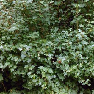 Fjeldribs (Ribes alpinum)
