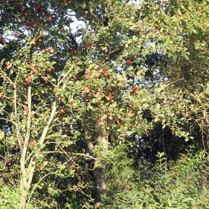Malus Sylvestris hybrid med anden æblesort