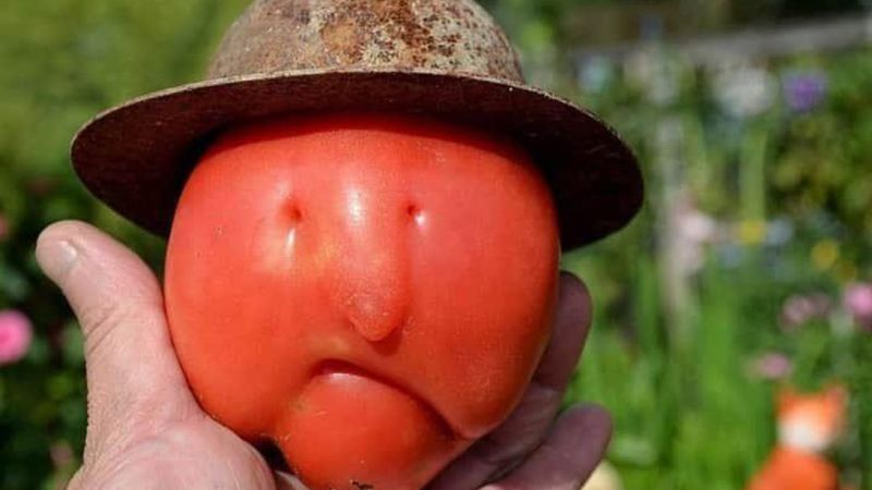 The internet says this tomato looks like Larry Bird