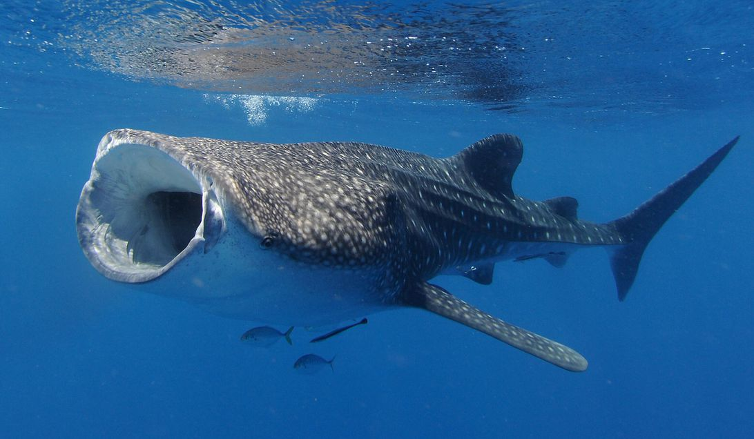 Female whale sharks are officially the biggest fish in the sea