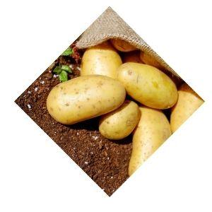 Pommes de terre Monalisa Bio d'Alsace