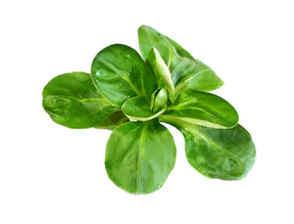 Image de la salade mâche Bio d'Alsace