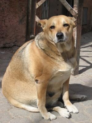 gos amb sobrepes i diarrea