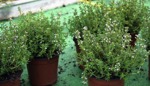 Plantes antimosquits: farigola