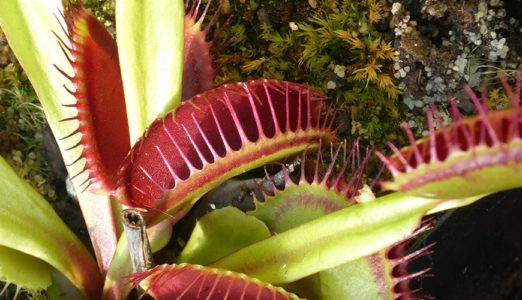 Plantes antimosquits: planta carnívora