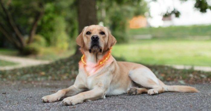 collar led per gos