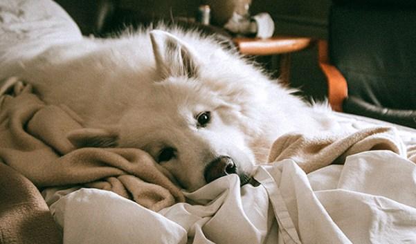 Gos amb llit i mantes