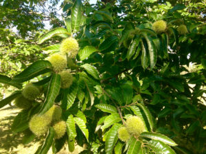 Chinese chestnuts are a perennial crop that can be grown to meet water quality and profitability goals.