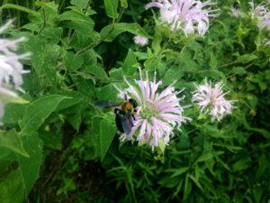 bumblebeemonarda