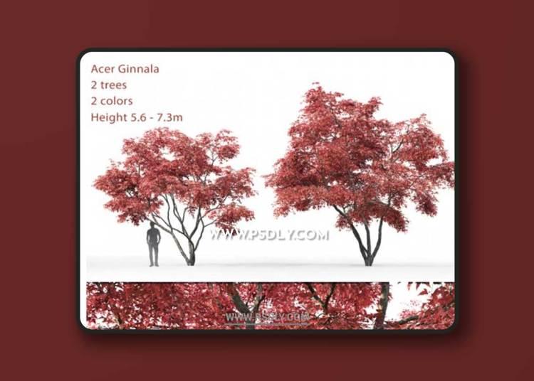 Ginnala Maple   Acer Ginnala # 2 3D Models