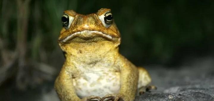 İstilacı Türler: Amfibi ve Sürüngenlere Örnekler
