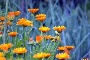 Yellow Blue Plant Petals Flowers Calendula Orange