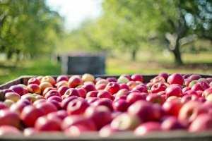 apples fall autumn