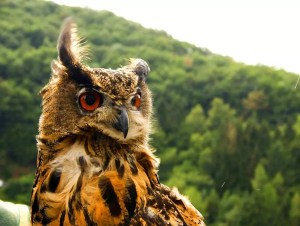 brown-owl-bird