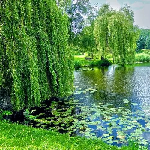 weeping willow pond lillies