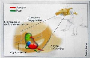 Réseau neuronal de l'anxiété