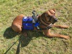 A reddish tan dog that is likely a Rhodesian Ridgeback lies in a sphinx down in grass, oriented and looking to the right but a little toward camera. The dog wears a blue vest behind a black leather and metal guide harness with a black head collar on and a leash coming up to the photographer, who has angled the camera at more less than a 45 degree angle toward the ground so that nothing else but grass is in view.