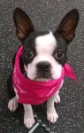 A small Boston Terrier wearing a pink bandana sits looking at the camera.