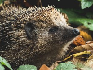 Hedgehog tadeusz lakota 473808 unsplash 300x225 - Hedgehogs at a rave