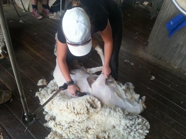 Sheering a sheep